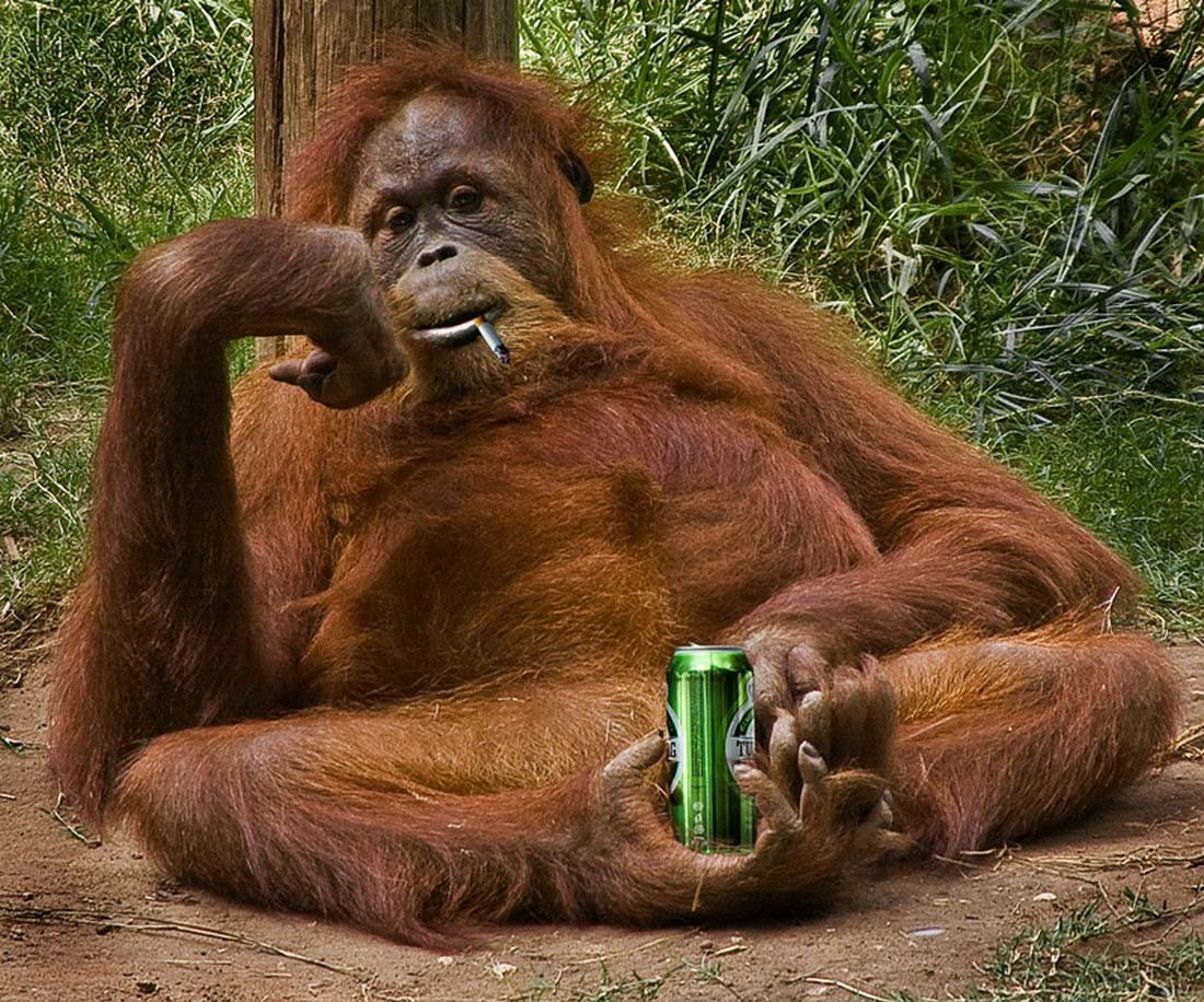 Смешные картинки с обезьяной, видео февраля