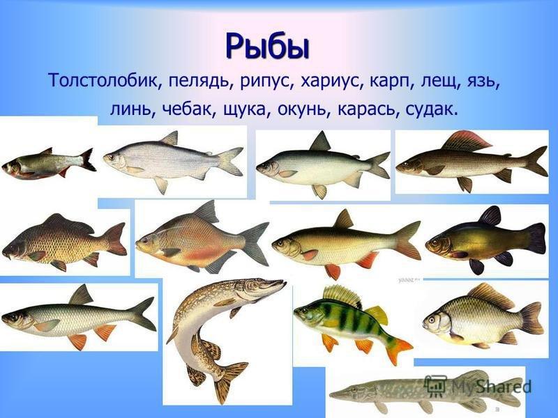 Озерные рыбы фото с названиями