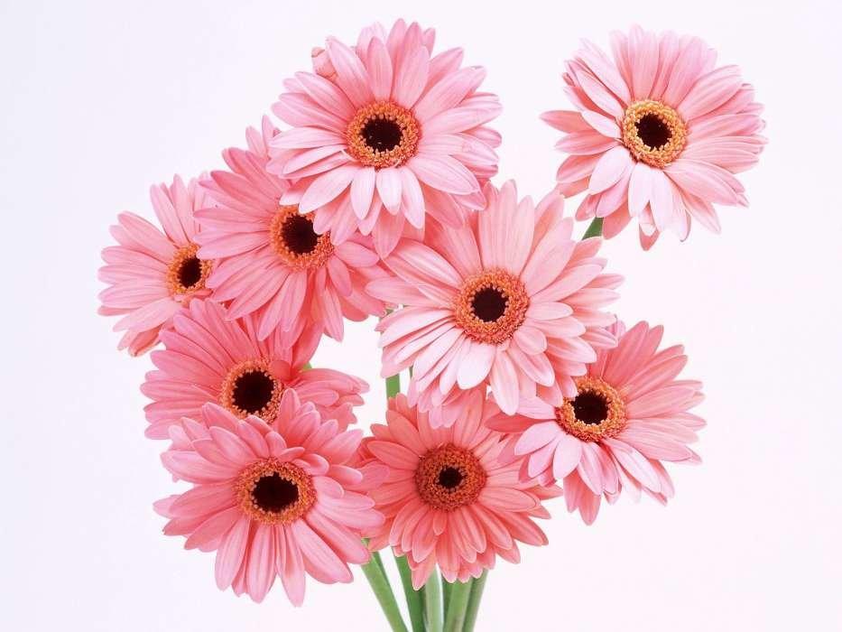 Картинки цветы герберы красивые