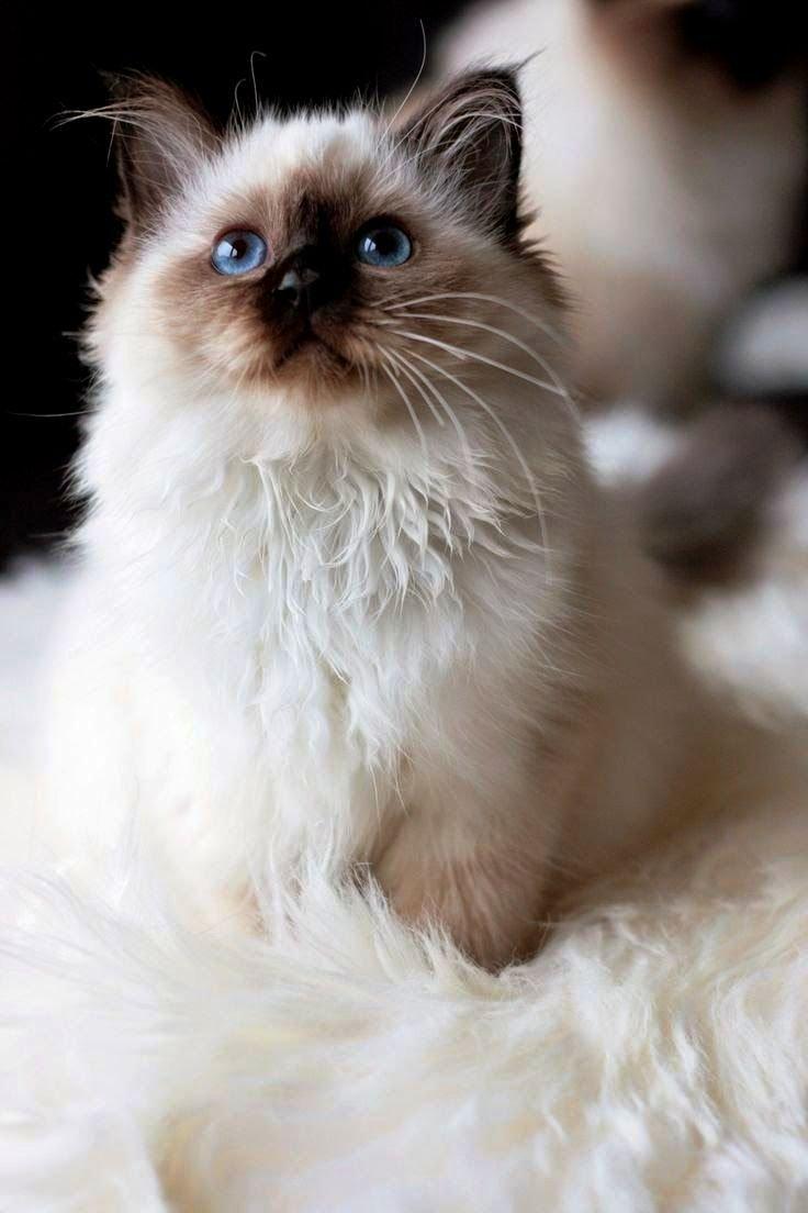 Породы кошек в картинках пушистых