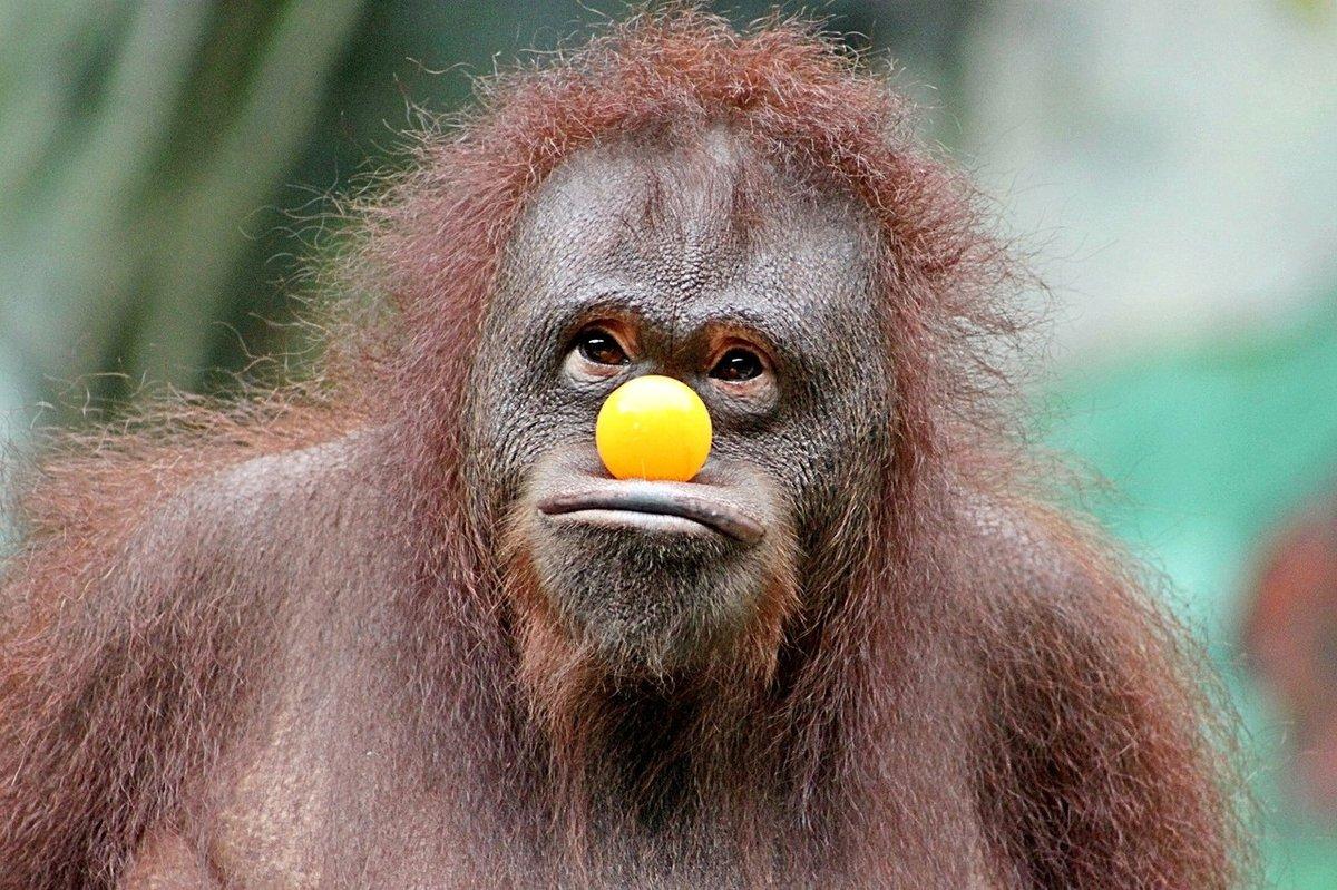 Прикольные картинки с обезьянками смешные, новогодняя