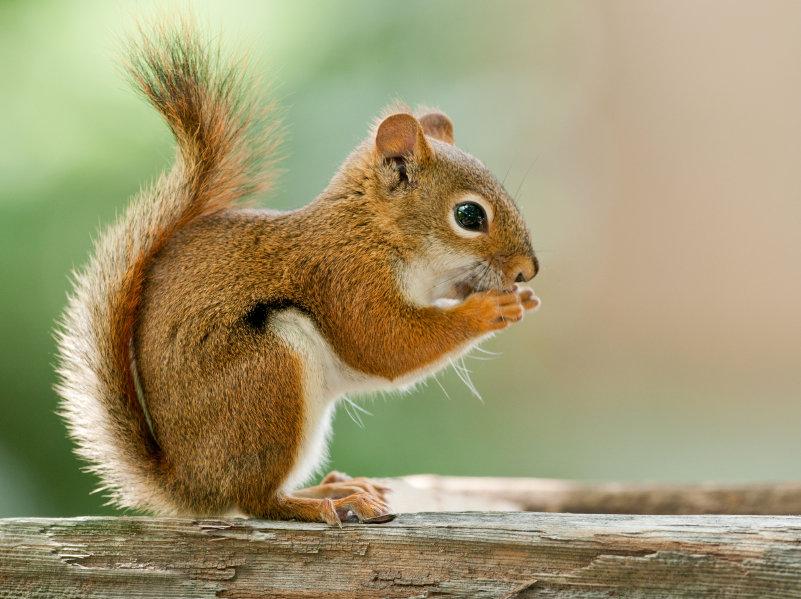 Свое название зверьки получили из-за красноватого оттенка шерсти.