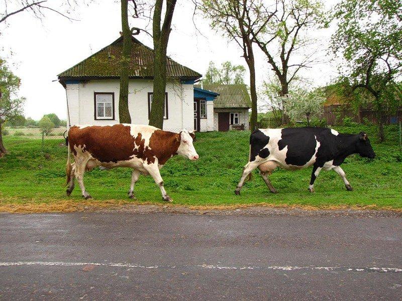 еще картинка деревенские коровы дедюшко