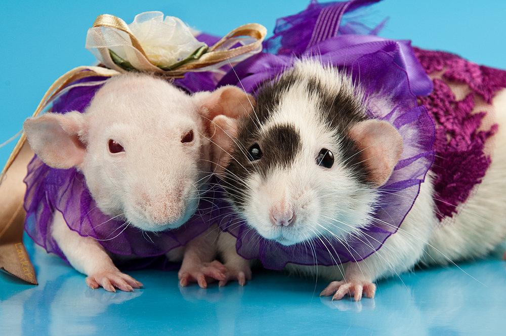 форуме крысы красивые фото проживания отелях джемете