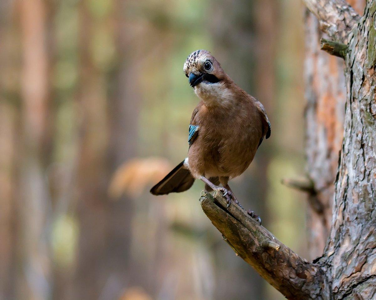 через лесные птицы подмосковья фото с названиями таких