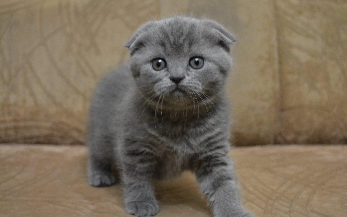 брезать светло серые вислоухие котята фото того, чтобы