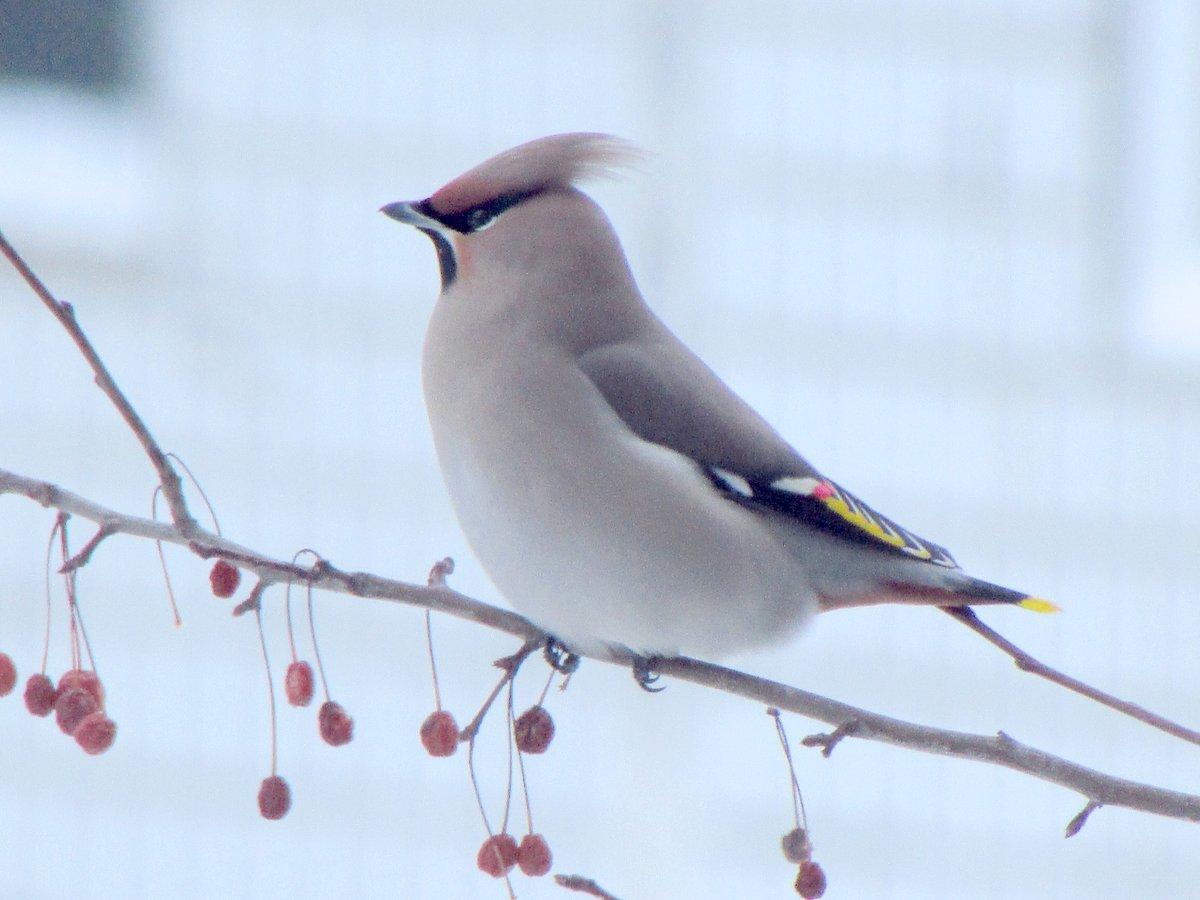 свиристель фото птицы зимой картинка можете