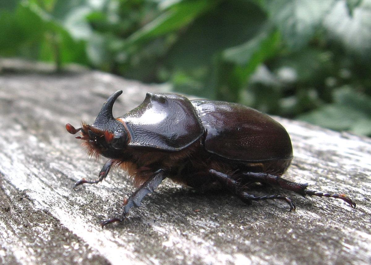 Фото и названия жуков насекомых