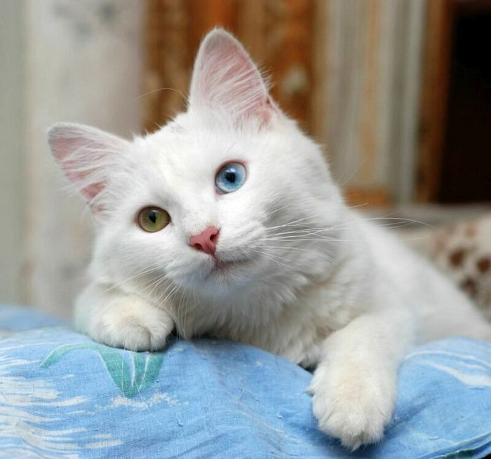 картинки белых котов с желтыми глазами всего для такого