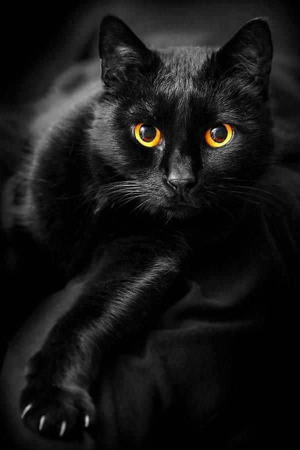Кошки в угольной шубке были практически незаметны в темноте, благодаря чему они весьма успешно оÑотились и, соответственно, отличались высокой плодовитостью.