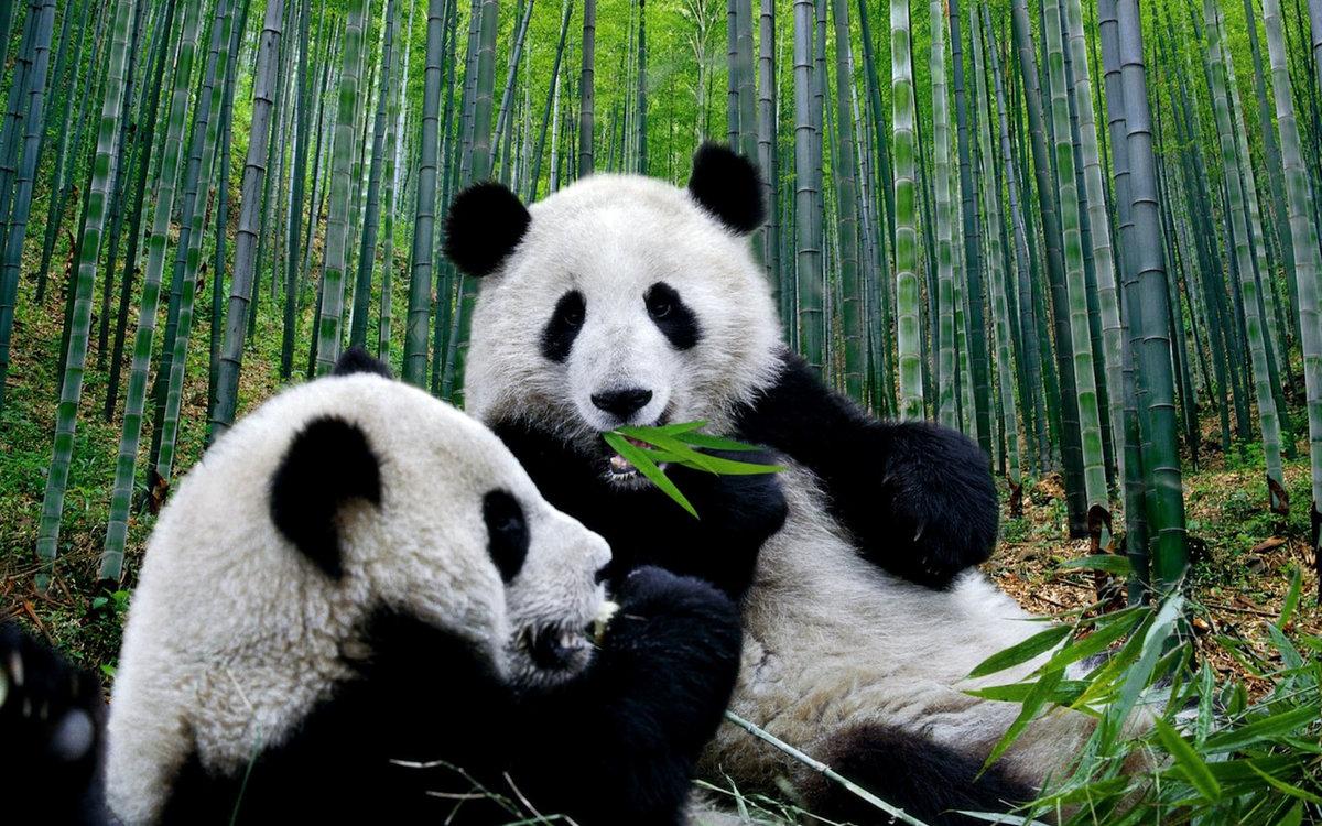 Картинки с изображением панды, строителя 2017