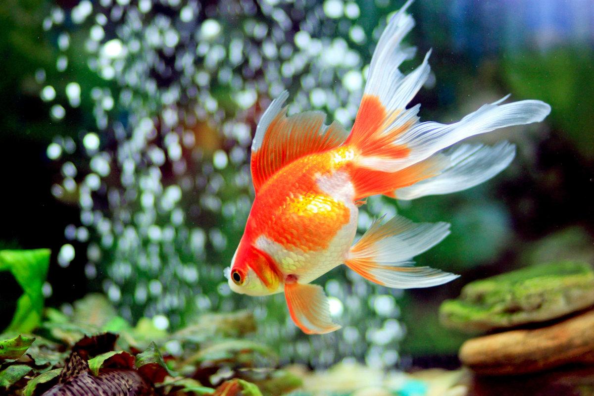 картинки золотая рыбка на рабочем столе сегодня для вас