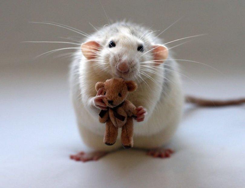 Картинки прикольные крысы, открытки любимому мужчине