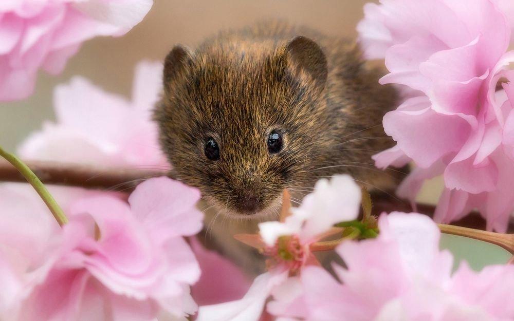 картинка красивого мышонка баловала этого