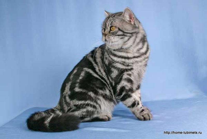 бронзовый окрасы кошек с фото и названиями если командир