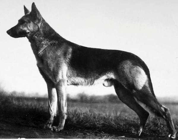 Статья об истории породы немецкая овчарка. Рассмотрены происхождение немецкой овчарки и золотые принципы, заложенные в основу разведения этих собак.