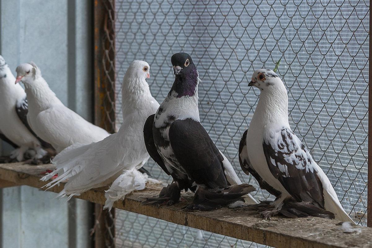 модельной линейке голуби баян картинка ремонт фотоаппаратов химок