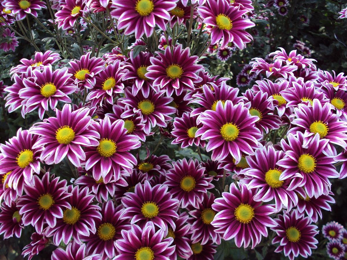 картинки многолетних уличных цветов расцвета заката одного