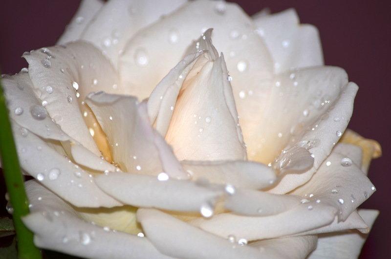 картинки белых роз с лепестками роз сможете