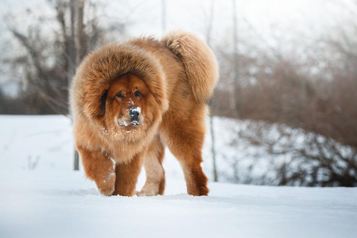 Пять самых дорогих пород собак в мире