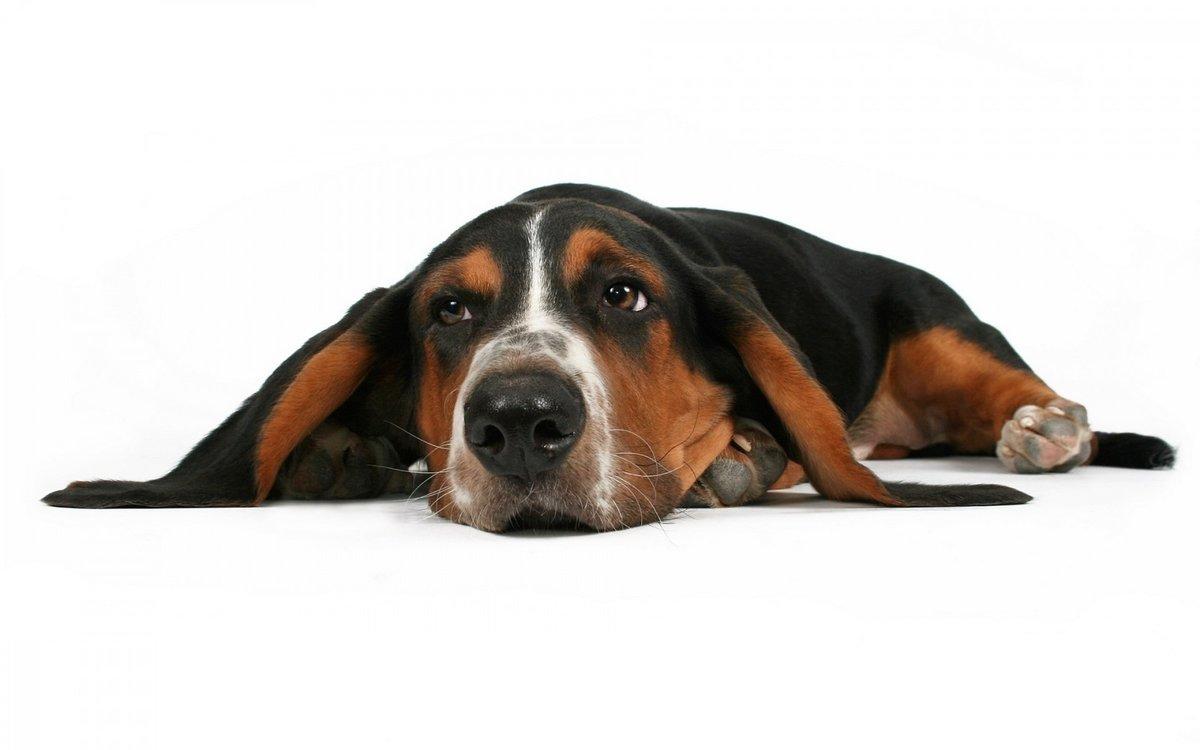 грустная собака фото на белом фоне кардиганы