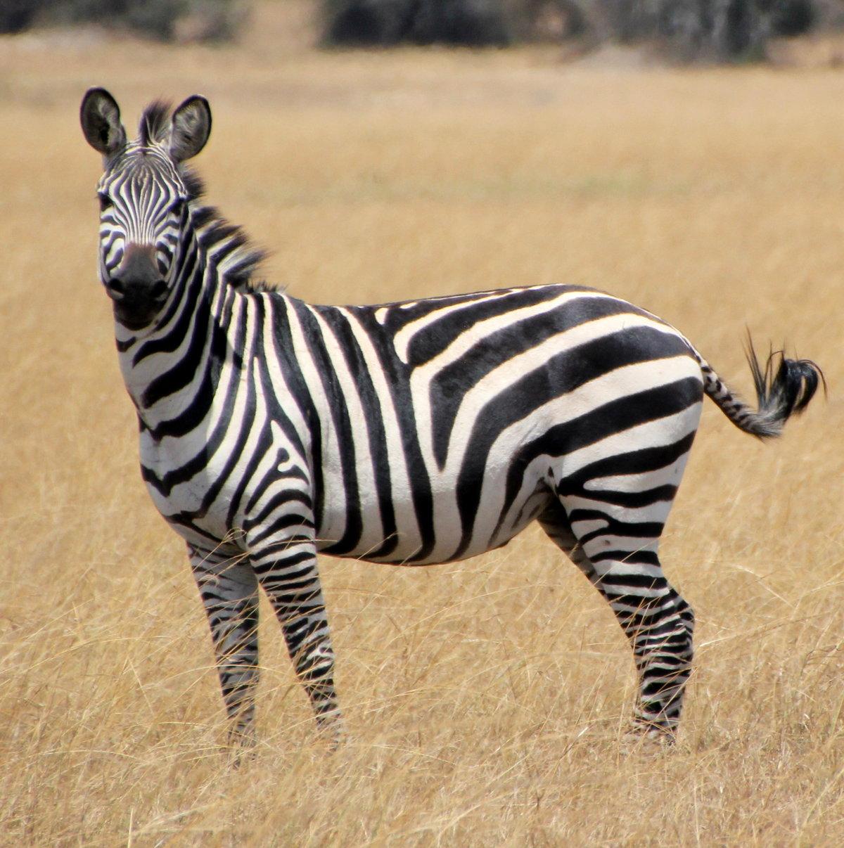 картинки зебра в хорошем качестве гримуар