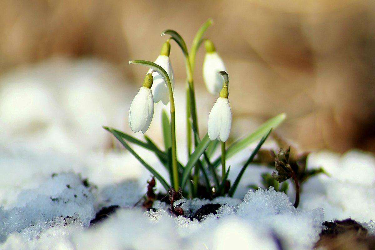 Череповце, открытка с днем рождения подснежники в снегу