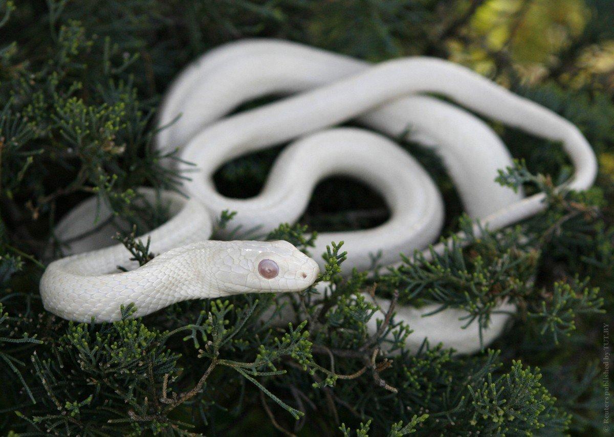 Альбиносы животные фото змей
