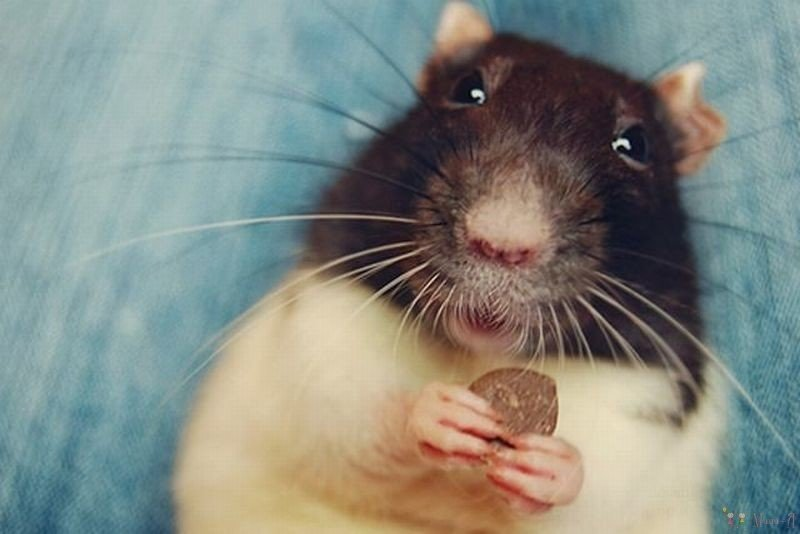 Картинки про смешных крыс