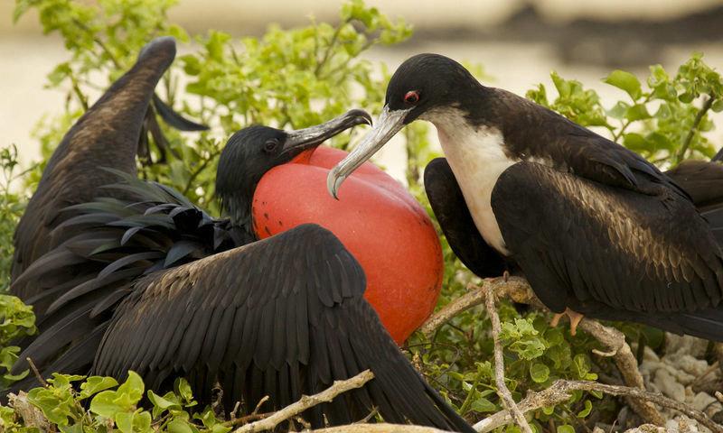 показать фото птицы фрегат рождённые