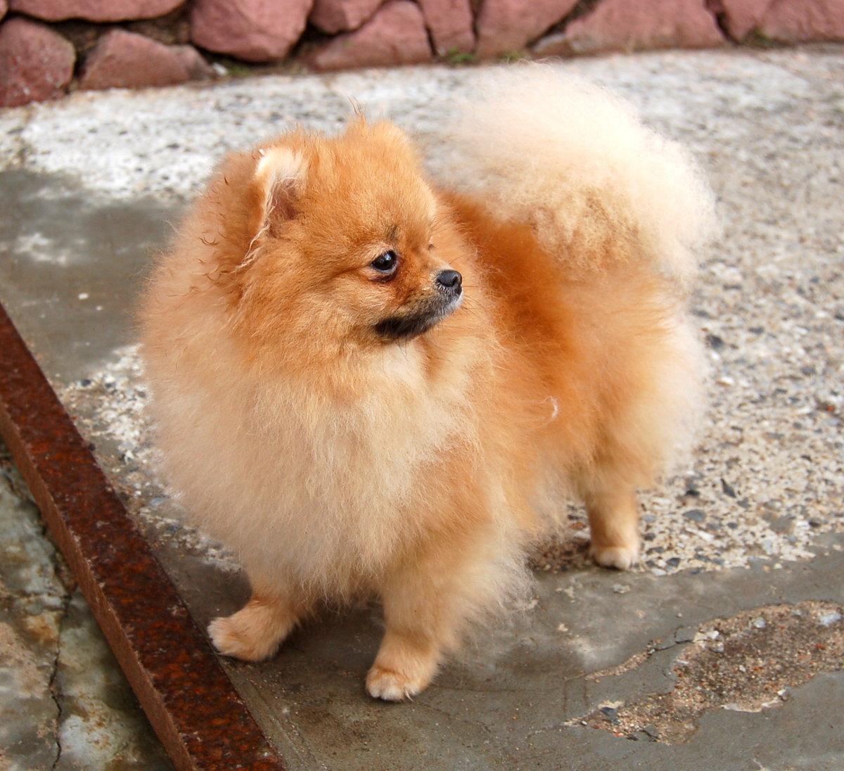 покажите фото собаки шпиц макияж