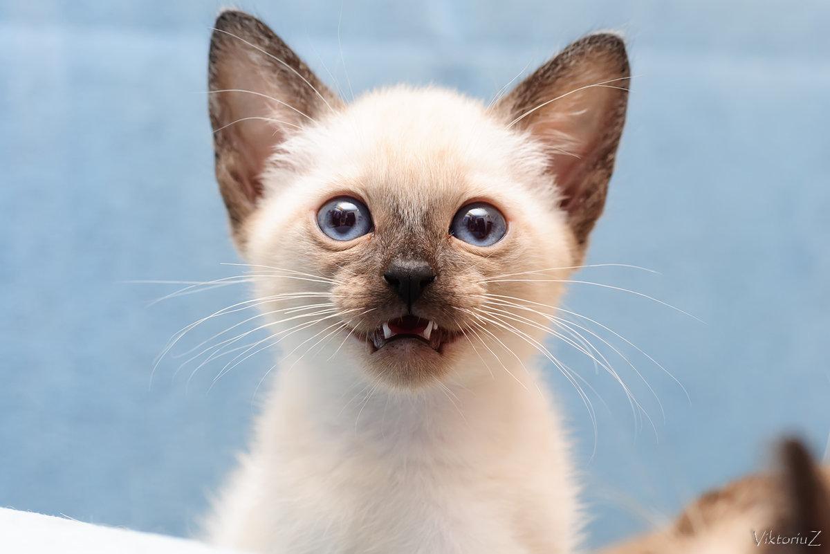 Картинка с котенком мяу