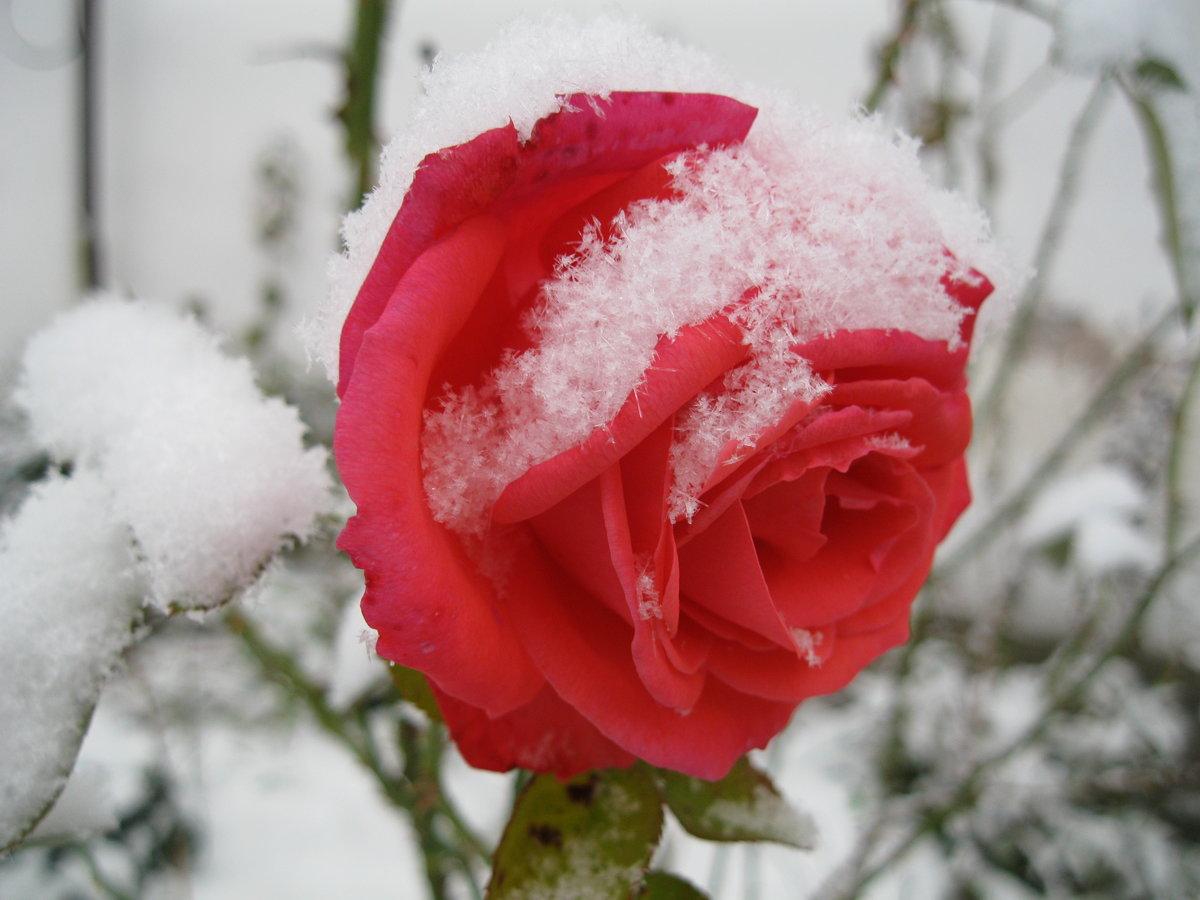 Открытка цветы в снегу, про галю приколы