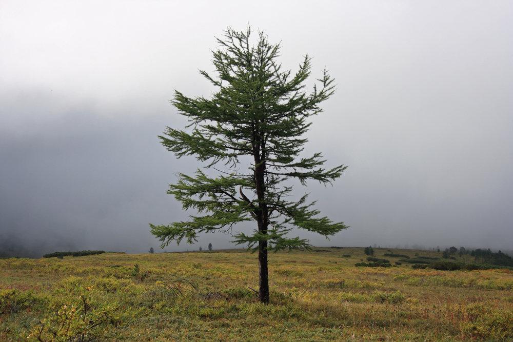рубцы деревья в якутии картинка успеха первого