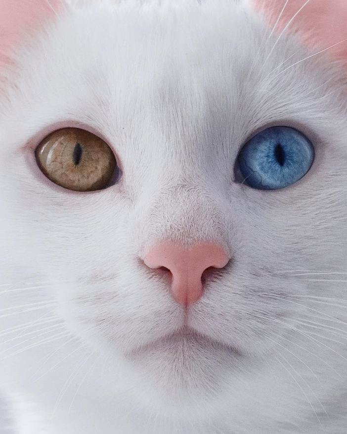 Картинки кот белый с разными глазами