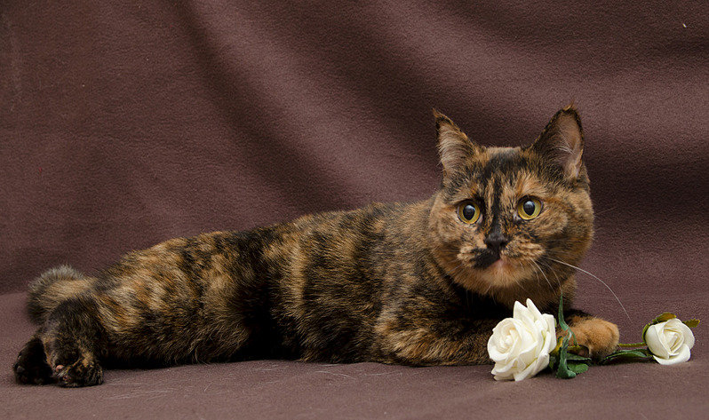 ЧерепаÑовая кошка.