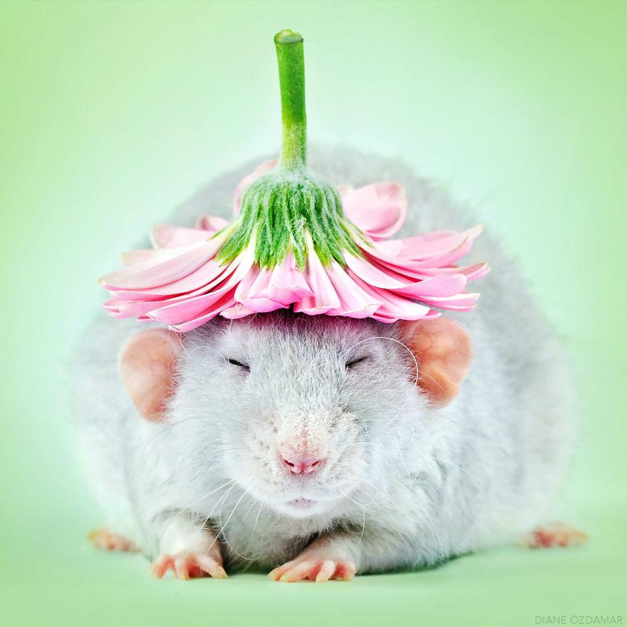 Крыса картинки красивые