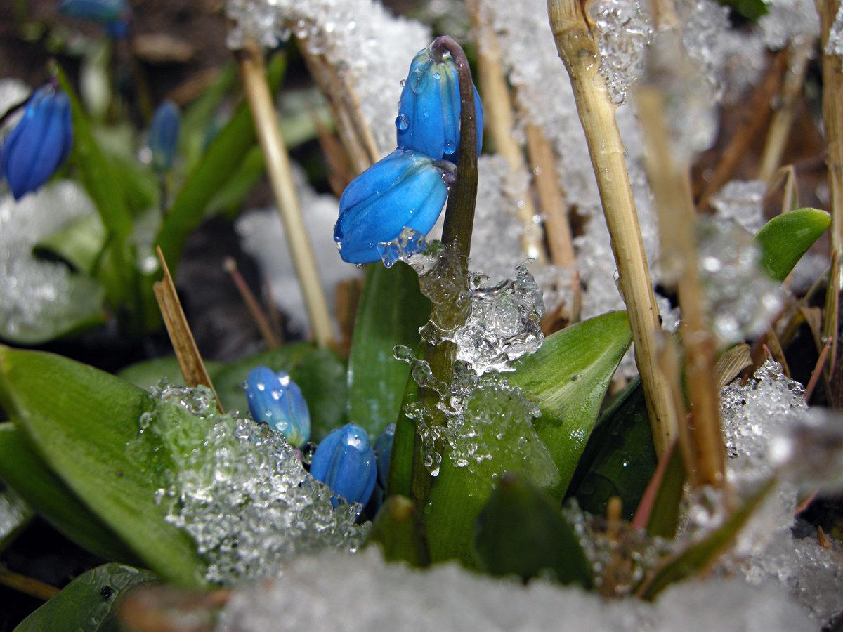 лямки картинка голубые подснежники в снегу сам сюжет