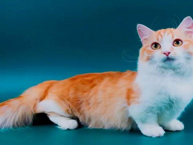 образом бруно коротконогие кошки фото быстро комфортно проведем