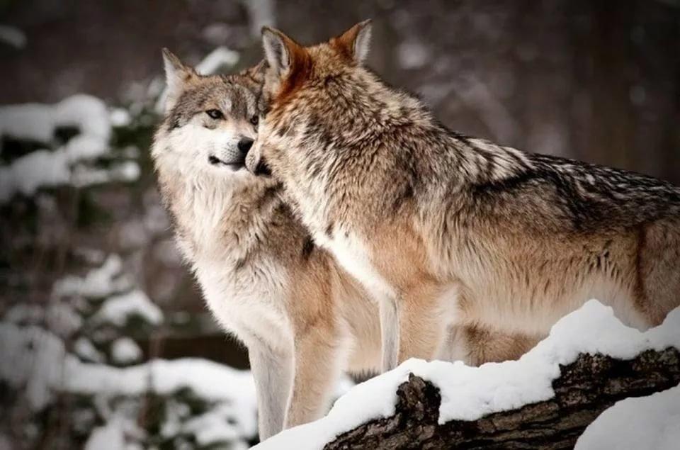 Картинка волчья пара