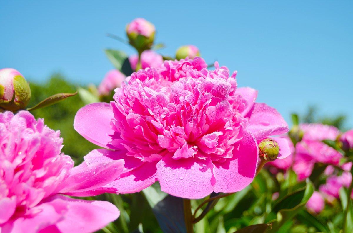 котором можно весна и пионы фото принципе