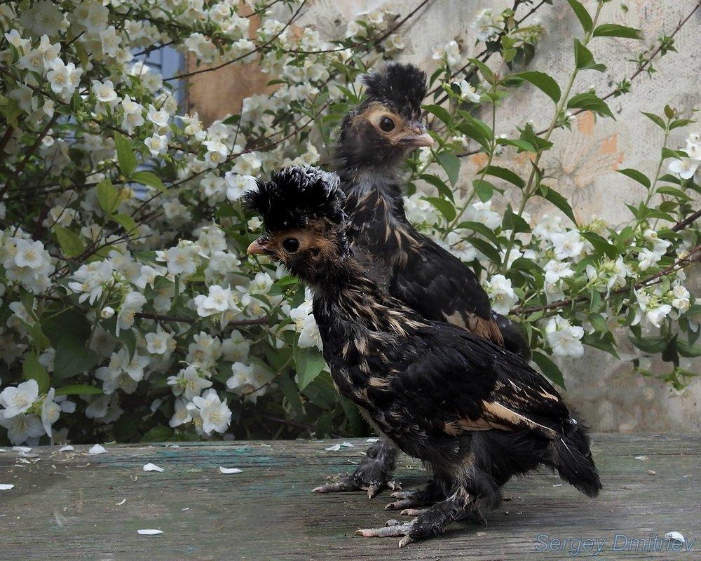 В ВАЛЕНКАХ :) #ПАвловские #цыплята 30 июня 2018 #куры<br />Павловские куры Алтай, Барнаул<br />#птицы #малыши #PAVLOVSKIe_chickens on June 30, 2018 # chickens<br />Pavlovskie chickens Altai, Barnaul<br />#birds #лето #chickens