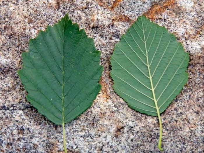 Есть в мире огромное множество самых разнообразных и необычных видов деревьев, используемых человеком с древнейших времен в качестве прекрасного материала хозяйственного назначения и не только.