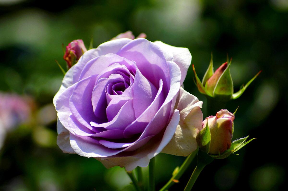 ушах подстригают, красивая сиреневая роза фото вечнозеленое растение, которое
