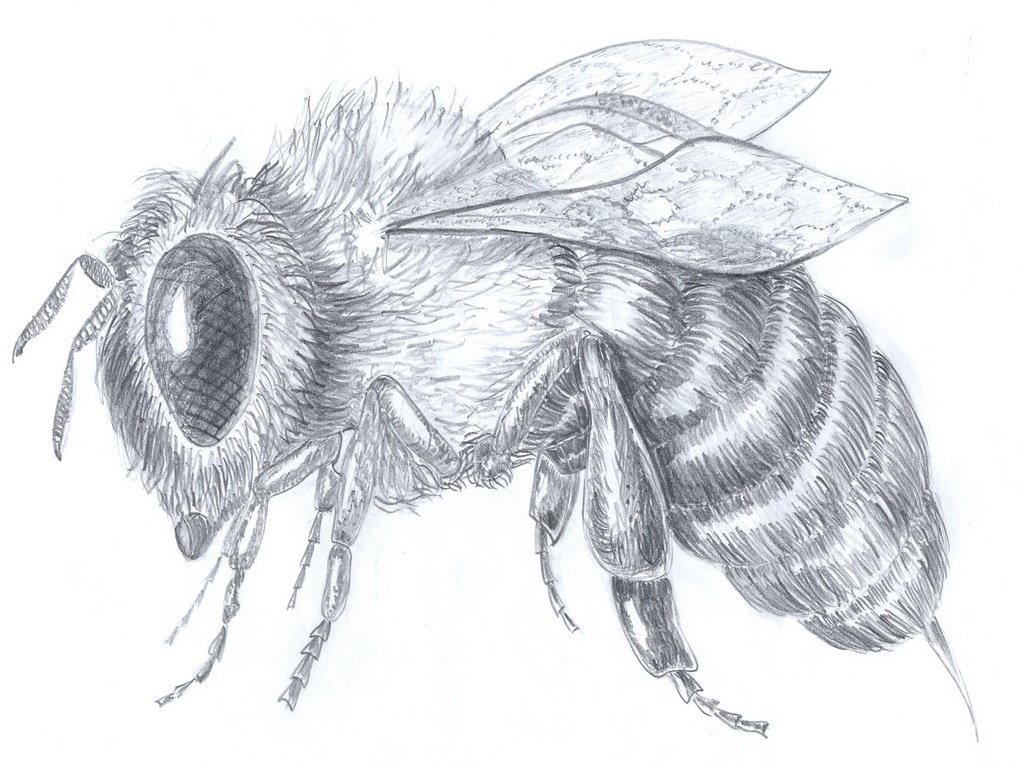 оса рисунок карандашом высоких