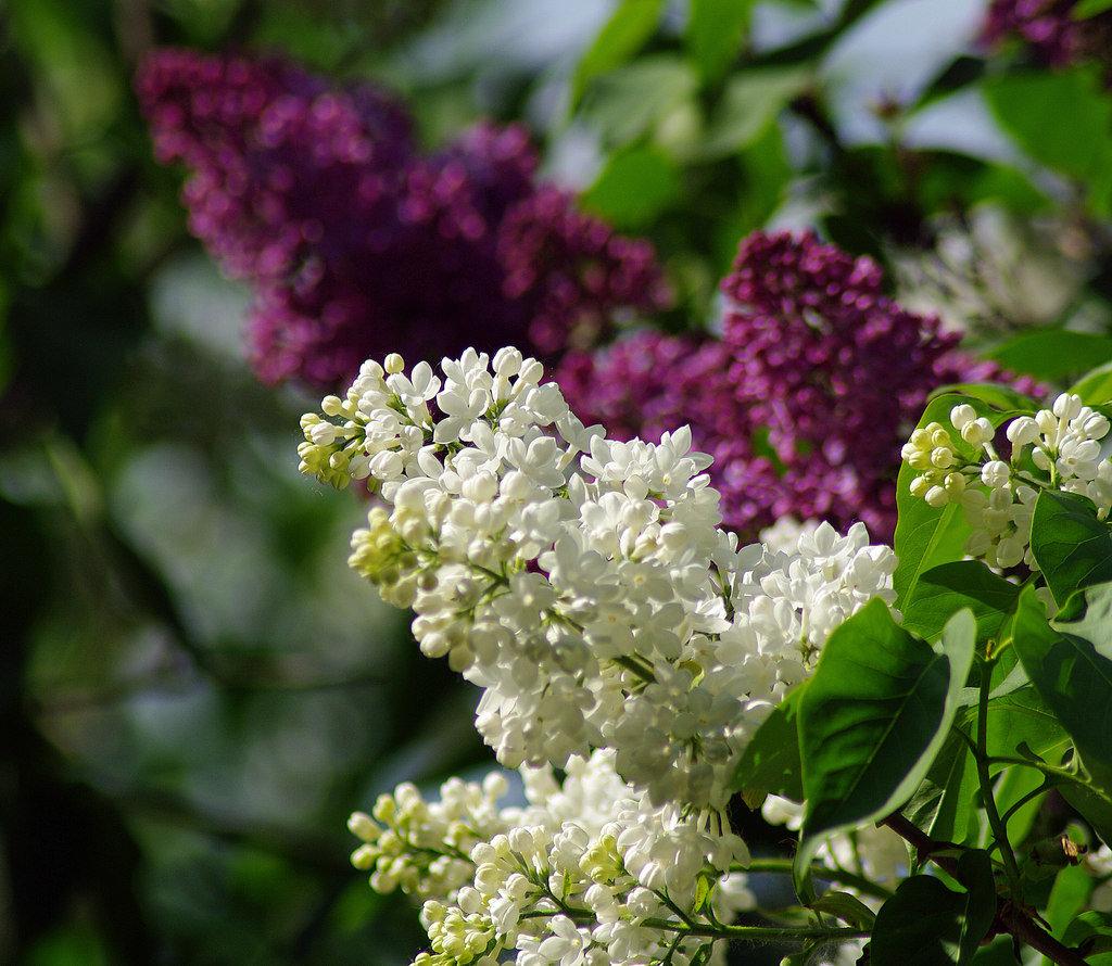вот фотографии цветы сирень оговорюсь -это мой