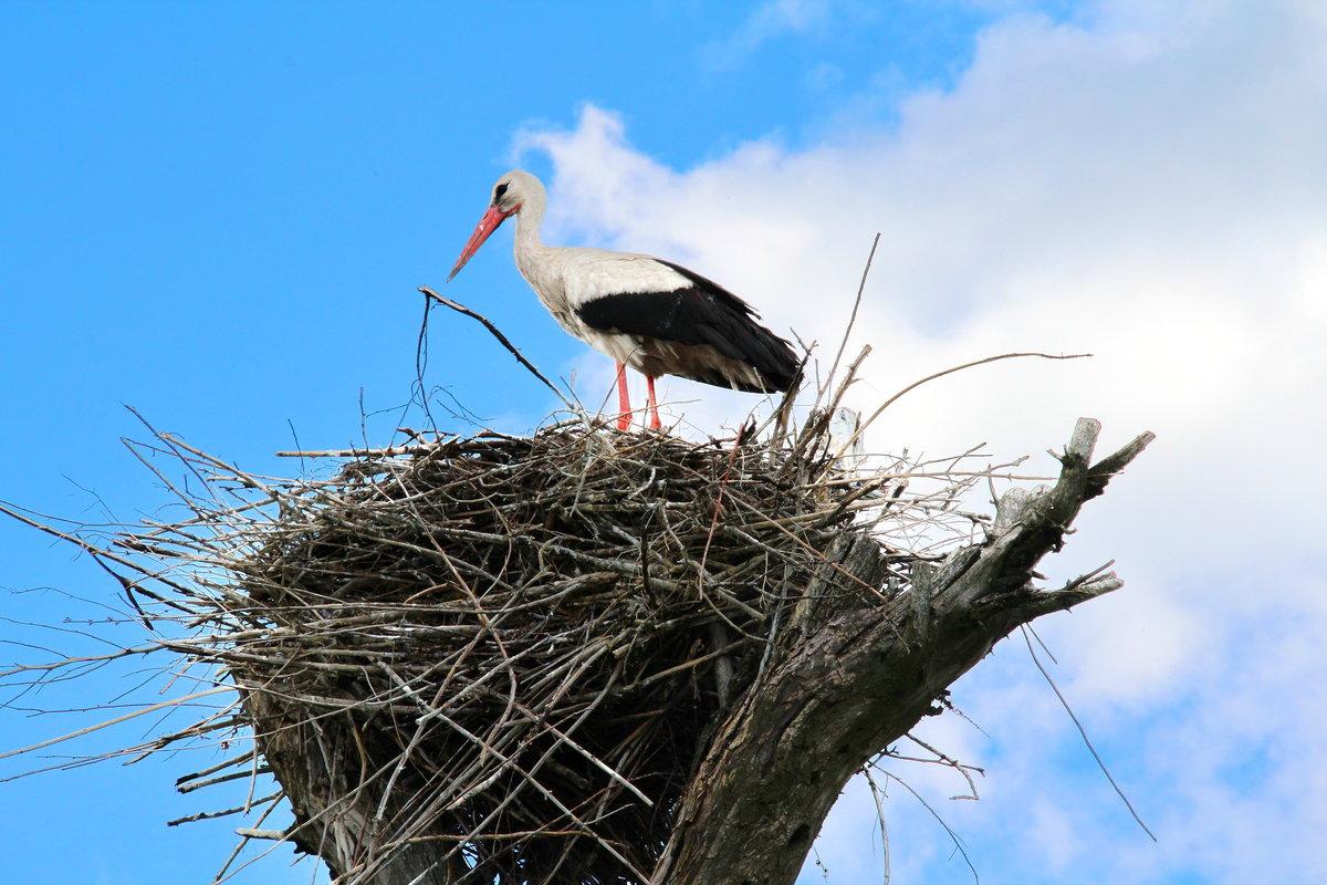 картинка аист в гнезде на дереве нацистской германии