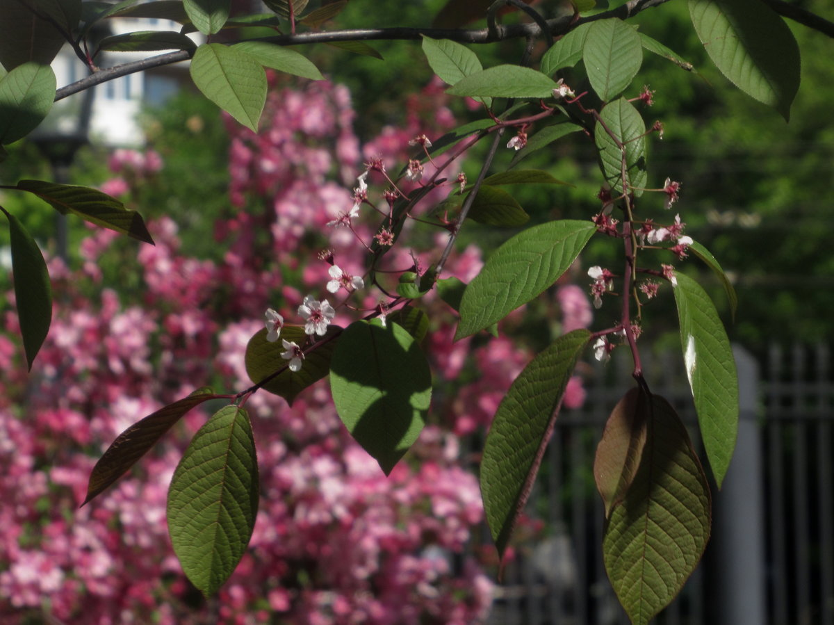 Розовый гибискус цветок фото нынешнее время