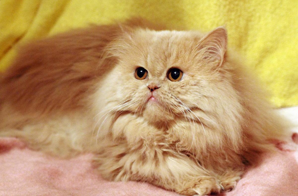 Картинки красивые персидские котята