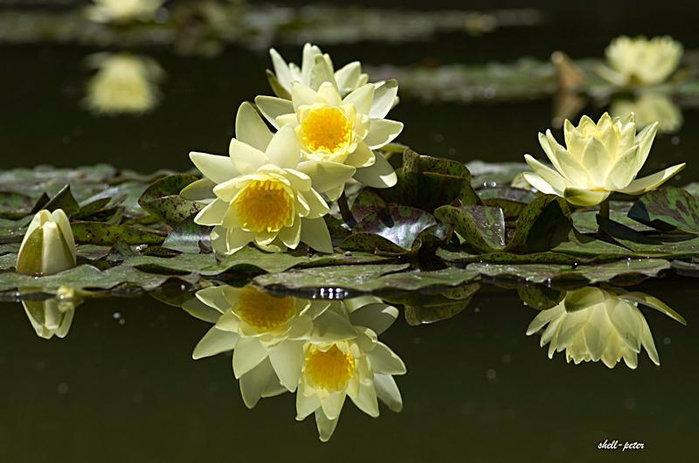 Год девочке, картинки с лилиями и надписью доброе утро